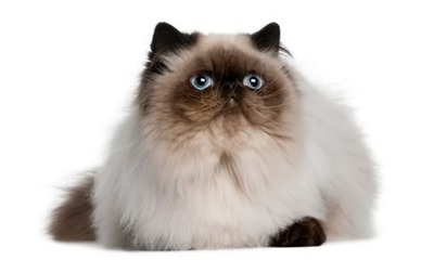 Himalayan Cat 2017 Z31 Coloring Page