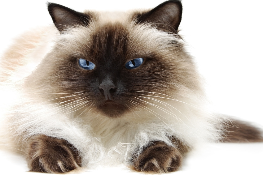 Himalayan Cat 2020 Z31 Coloring Page